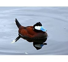 Ruddy Duck ~ Male Photographic Print