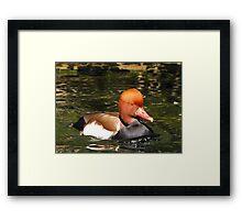 Red-crested Pochard ~ Male Framed Print