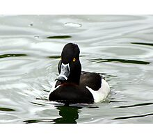 Ring-necked ~ Male Photographic Print