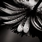 Gerbera by Christine  Wilson
