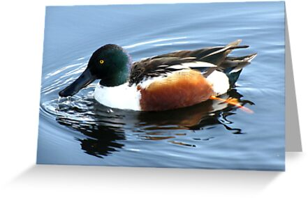 Northern Shoveler ~ Male by Kimberly Chadwick