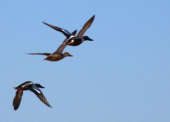 Northern Shovelers ~ In Flight by Kimberly Chadwick
