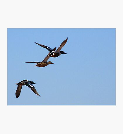 Northern Shovelers ~ In Flight Photographic Print