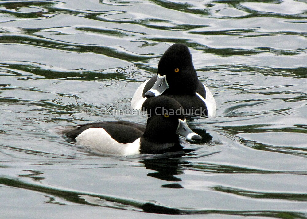 Ring-necked Ducks ~ Males by Kimberly Chadwick