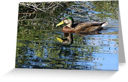 Mallard ~ Eclipsed Male by Kimberly Chadwick