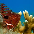 Christmas Tree Worm by Leon Heyns
