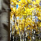 Aspens by Gary Taylor