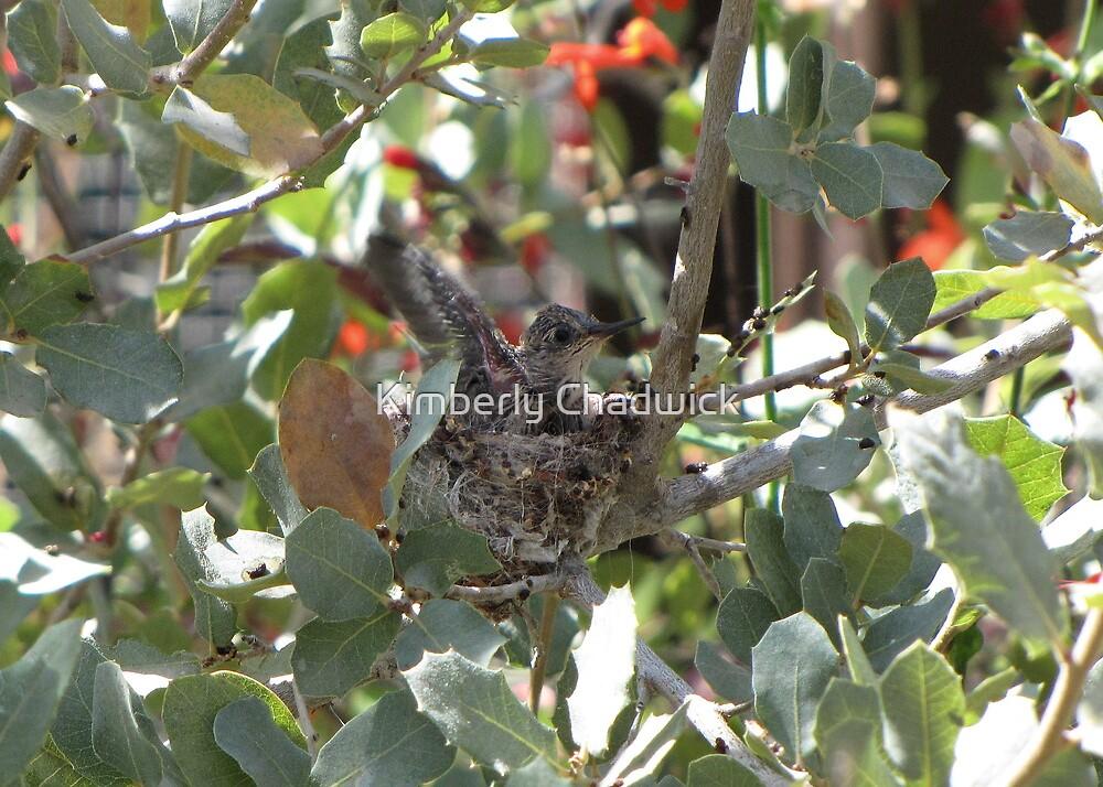 Costa's Hummingbird ~ Baby Flexing by Kimberly Chadwick