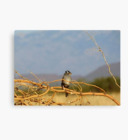 White-crowned Sparrow ~ Adult Canvas Print