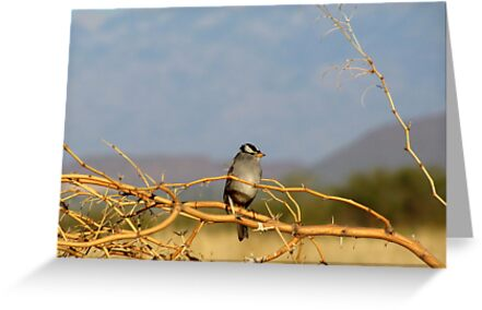 White-crowned Sparrow ~ Adult by Kimberly Chadwick