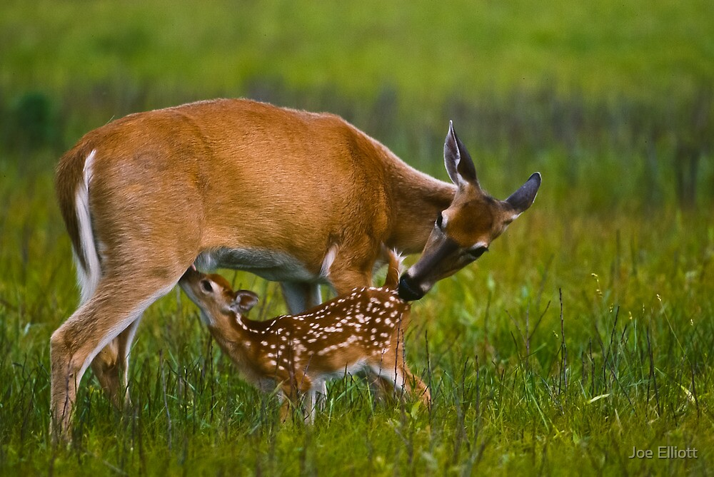 Nursing Whitetail Fawn by Joe Elliott