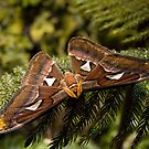 ATLAS MOTH by Joe Powell