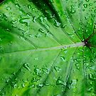 Elephant Ear Leaf by Penny Smith