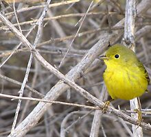 Yellow Warbler ~ Adult by Kimberly Chadwick