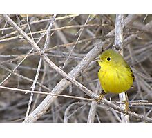 Yellow Warbler ~ Adult Photographic Print