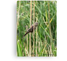 Red-winged Blackbird ~ Female Canvas Print