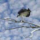 OSPREY WITH A FISH by TomBaumker