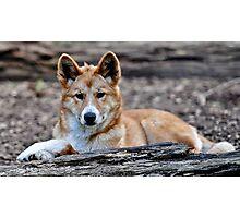 Dingo Photographic Print