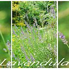 Lavendula.... by Carol Knudsen