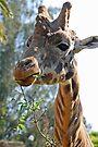 Rothschild's Giraffe by Leanne Allen