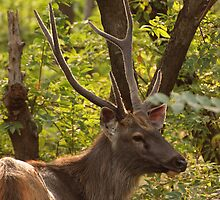 Sambar deer male, Ranthambore by Christopher Cullen