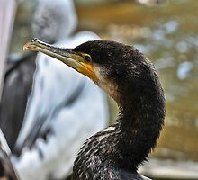 Great Cormorant by Tom Newman