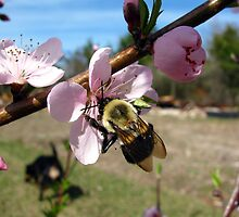 bumble bee on peach tree bloom by tomcat2170