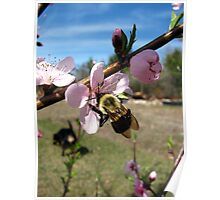 bumble bee on peach tree bloom Poster