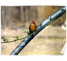 female cardinal Poster