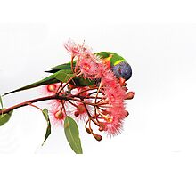 Rainbow Lorikeet -3342 (Trichoglossus haematodus) Photographic Print