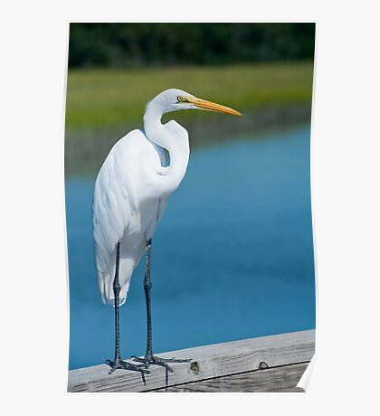 Great White Egret In Formal Ware Poster
