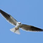 Black Shouldered Kite by Keith Lightbody