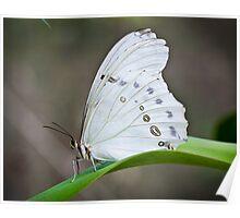 White Morpho Poster