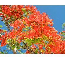 Flamboyant Tree Against Blue Sky Photographic Print
