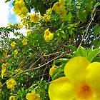 Allamanda Hedge - Grenada, Caribbean by Lorna81