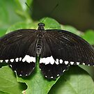 Common Mormon  male by Dorothy Thomson