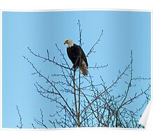 The Sentry--Bald Eagle watching over the feeding ground. Poster