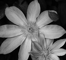 Clematis by Lee LaFontaine