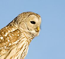 "Barred Owl "" did you get my good side"" by Wayne Wood"