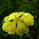 Awash With Tears ~ Hibbertia  by Meg Hart