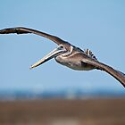 Juvenile Pelican Banking Left by Joe Jennelle
