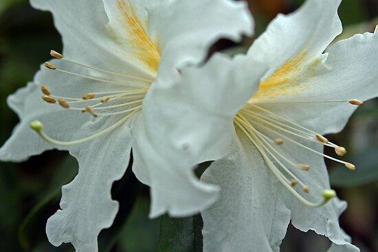 Rhododendrum Magregoriae 2 by Kenric A. Prescott