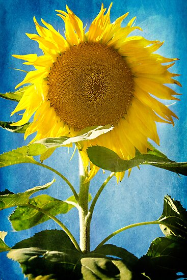 { sunflower blue} by Brooke Reynolds