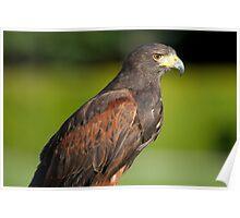 Hawk 400mm Poster