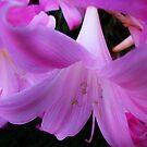 pink ladies by Peta Hurley-Hill