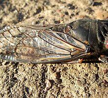 cicada by Peta Hurley-Hill