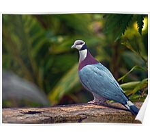 Collared Imperial Pigeon Poster