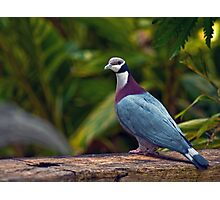 Collared Imperial Pigeon Photographic Print