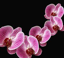 Pink Orchids by Mistyarts