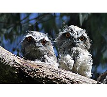 Tawny Frogmouth babies Photographic Print